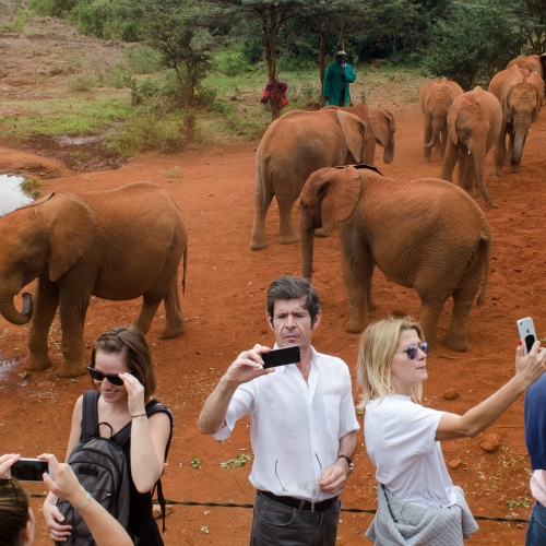 A herd of elephants, group of tourists in front of them taking selfies.