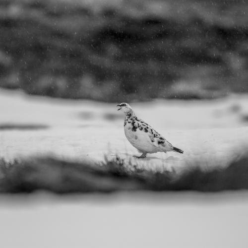 Speckled bird with beak open in the snow.