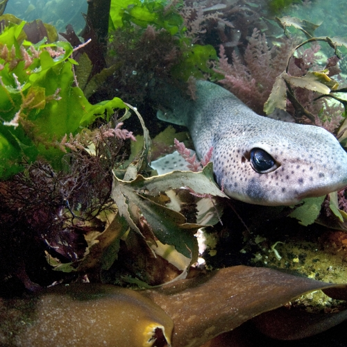 Cat shark emerging from various coloured sea plants and seaweed.
