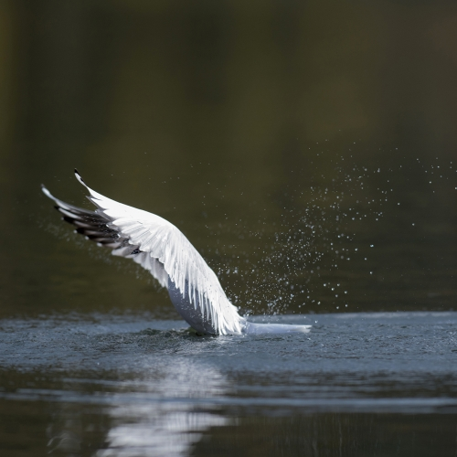 Bird with body immersed in water, wings still in the air.