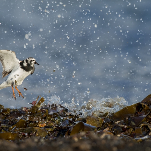 Black and white seabird landing on seaweed amidst a scatter of splashes.