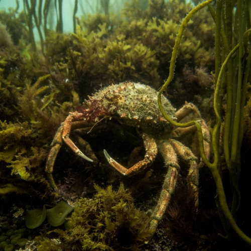 Spider crab camouflaged amongst the seaweed.