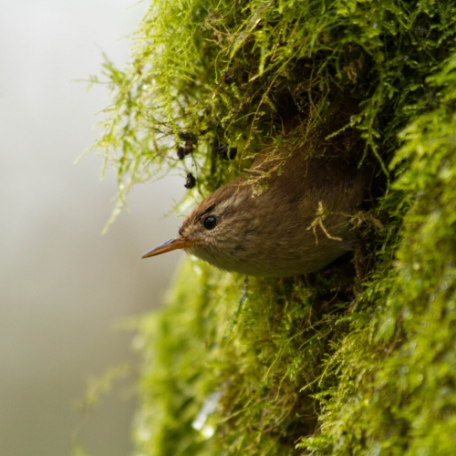 Brown bird looking out from moss covered hideout.