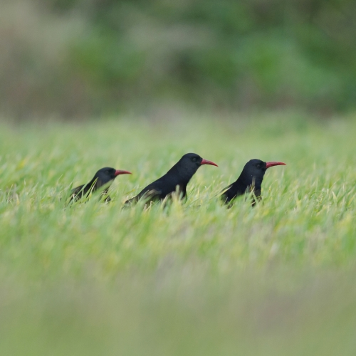 Three choughs in a green field.