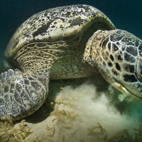 Turtle lying on seabed.