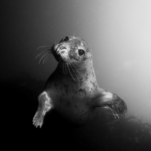 Black and white image of seal underwater.