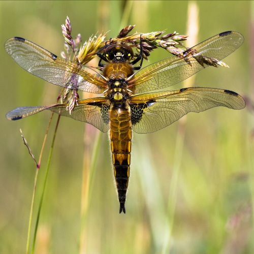 Detailed dragonfly close up.