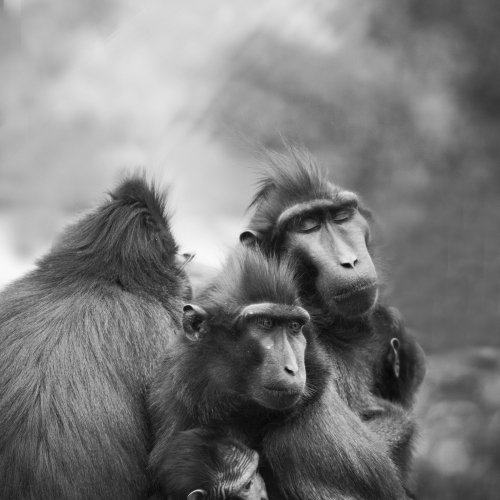 Grayscale image of a group of monkeys.