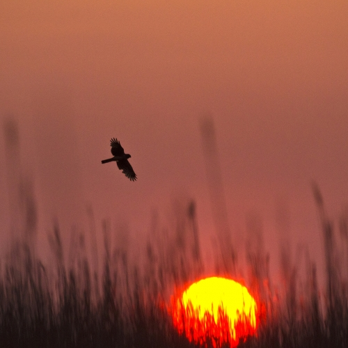 Sun setting, red sky and bird silhouette in the sky.