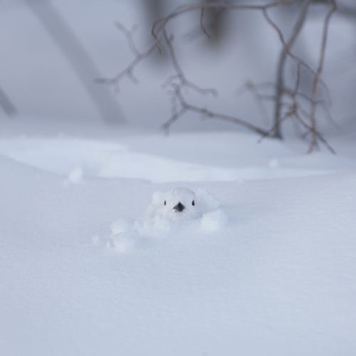 Bird's head popping out of a snow covered ground, all white with black beak and eyes.