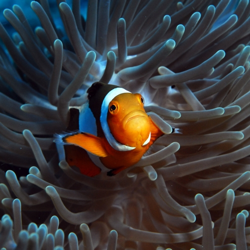 Close up of a clownfish with downturned mouth resting on a blue fingered anemone.