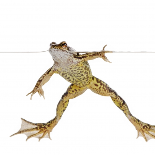 Yellow and brown speckled frog in a clear tank with white background.