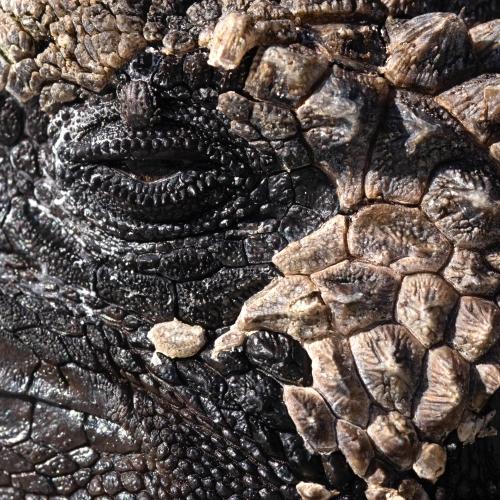Close up of Marine Iguana in Galapagos