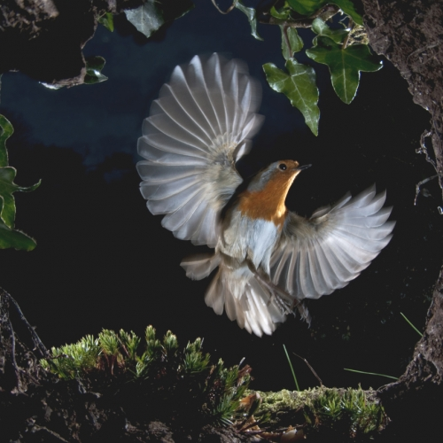 Robin mid flight with wings spread.