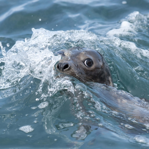 Seal poking nose out from the sea.