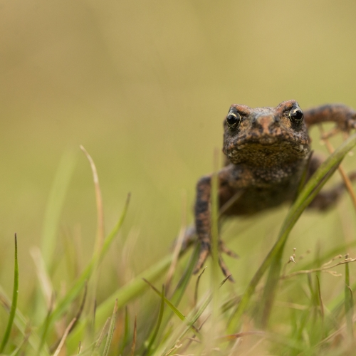 Copper coloured frog moving through grass.